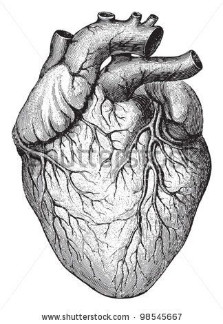 best 25+ human heart drawing ideas on pinterest | human heart, Muscles