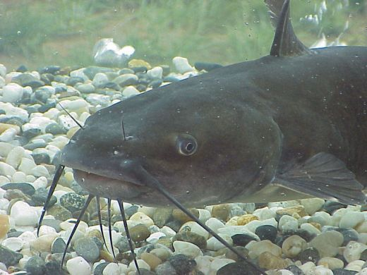 Cat-fishing Tips Tricks And More. Catch Some Great Big Catfish