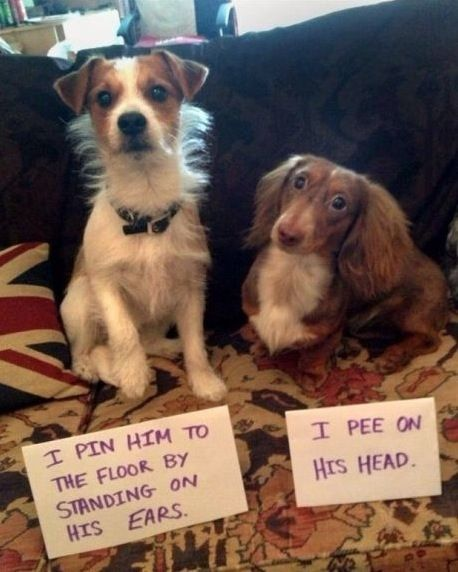 Dog Shaming - I Pin Him to the Floor by Stepping on His Ears. I Pee on His Head. ---- hilarious jokes funny pictures walmart fails meme humor