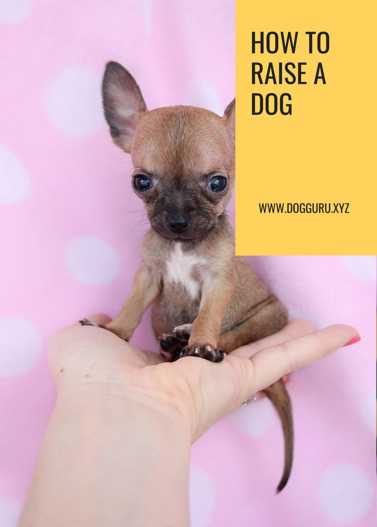 Read Post How To Raise A Dog Dogs Chihuahua Puppies