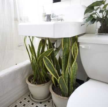 Indoor plants are restful and clean the air. You... #plants #MotherInLawsTongue #pots