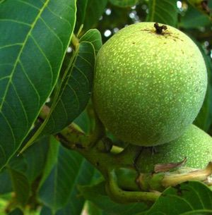 Czego NIE mozna Roślin zgodnie oo Black Walnut Tree? - Zdjęcie: Constantin jurcut / stock.xchng
