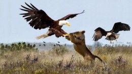 Leopard vs Eagle vs Lion vs Leopard Part 2 – Leopard vs Black Eagle Real Fight Part 2