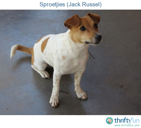 Photo of a Jack Russell female dog.