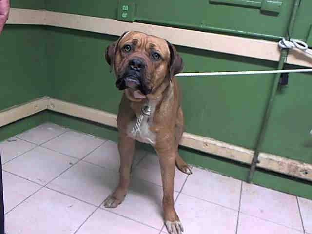 Came in with Devereaux... #A5027295 My name is DELANO I'm an approximately 2 year old male Mastiff. I am not yet neutered. I have been at the Carson Animal Care Center since 1/21. I will be available on 1/26. You can visit me at my temporary home at C345.   Carson Shelter, 216 Victoria Street, Gardena, California https://www.facebook.com/savingcarsonshelterdogs/photos/a.172032662969376.1073741830.171850219654287/720192114820092/?type=3&theater