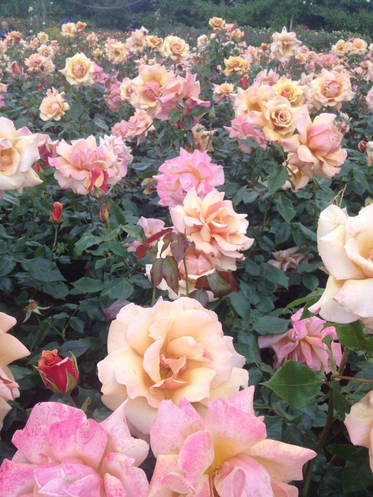 Roses In Garden: 16 Best Images About Roses Around The World On Pinterest