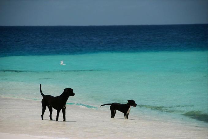 Friendly dogs at Madriski Island, at Los Roques in Venezuela