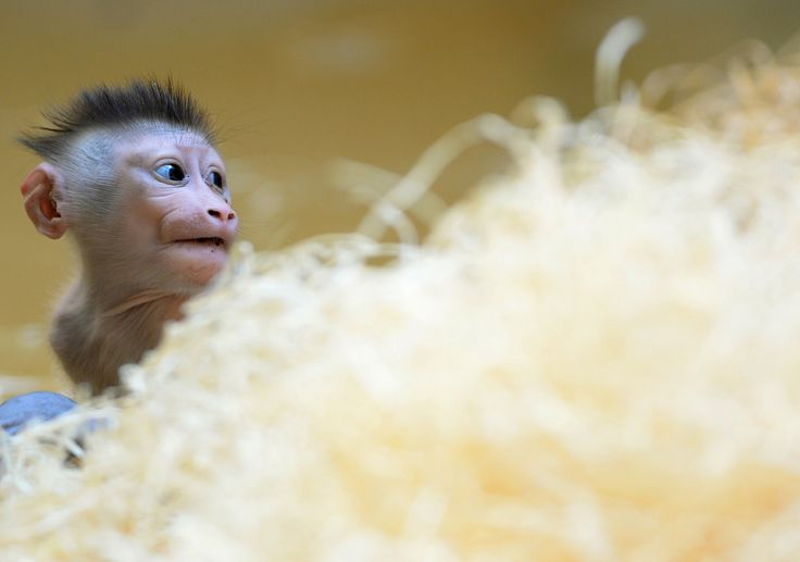 A baby drill monkey named Pinto plays in the enclosure at Hellabrunn Zoo in Munich, Germany