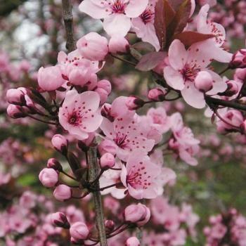 Prunier à fleurs - Prunus cerasifera Atropurpurea Prunus cerasifera Atropurpurea