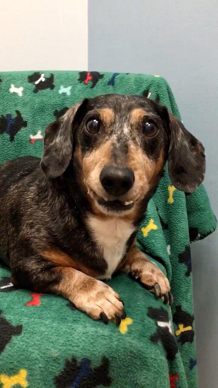 Dachshund Dog For Adoption In Weston Fl Adn 692033 On