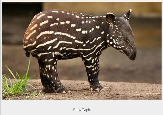 Cutest Baby Animals - Animal Stories. I believe this is a Tapar(sp).