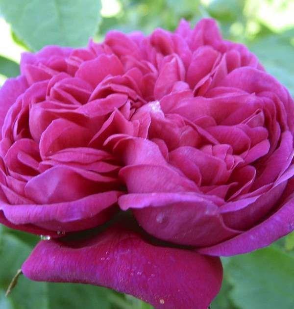Gammaldags buskros 'Rose de Rescht'