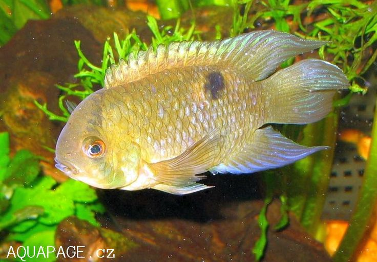 115 best images about freshwater fish on pinterest for Peaceful freshwater fish