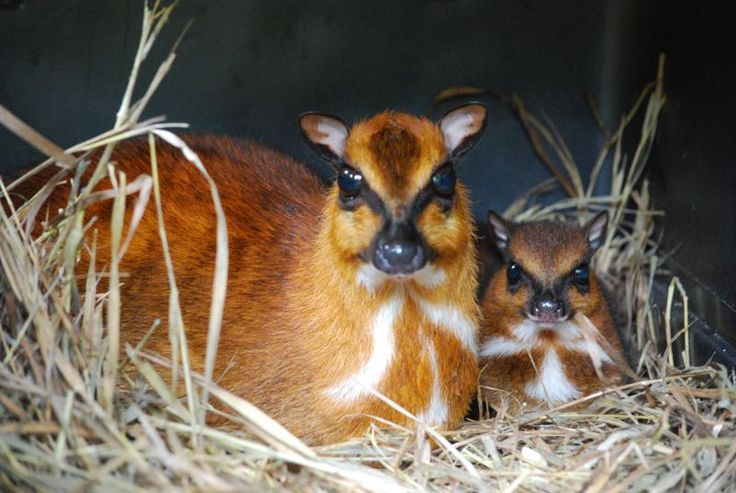 a baby greater malayan chevrotain and mom wilma with