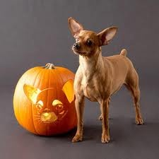 Halloween chihuahua and carving