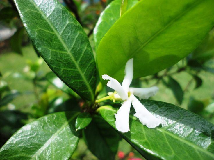 Jazmín de leche (Trachelospermum jasminoides)
