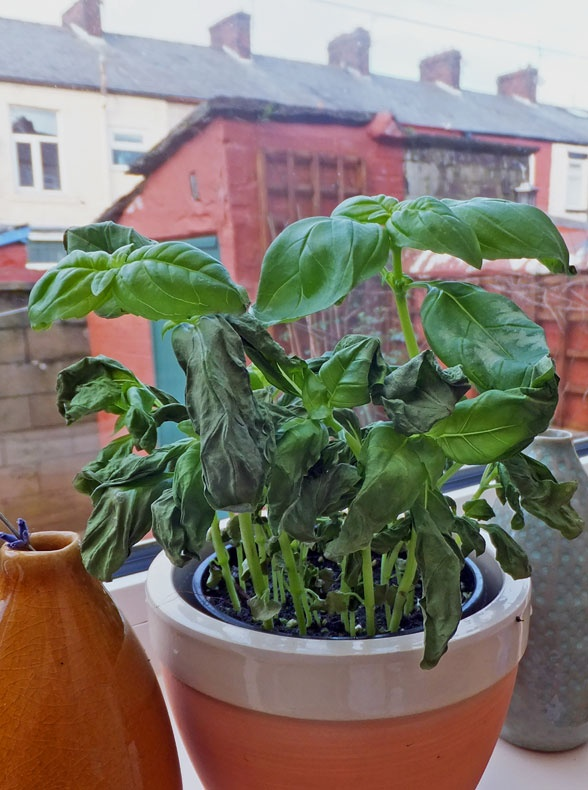 Revive your basil plant and how to compost coffee grounds >> http://blog.hgtvgardens.com/grow-guide-reviving-basil-and-composting-coffee-grounds/?soc=pinterest