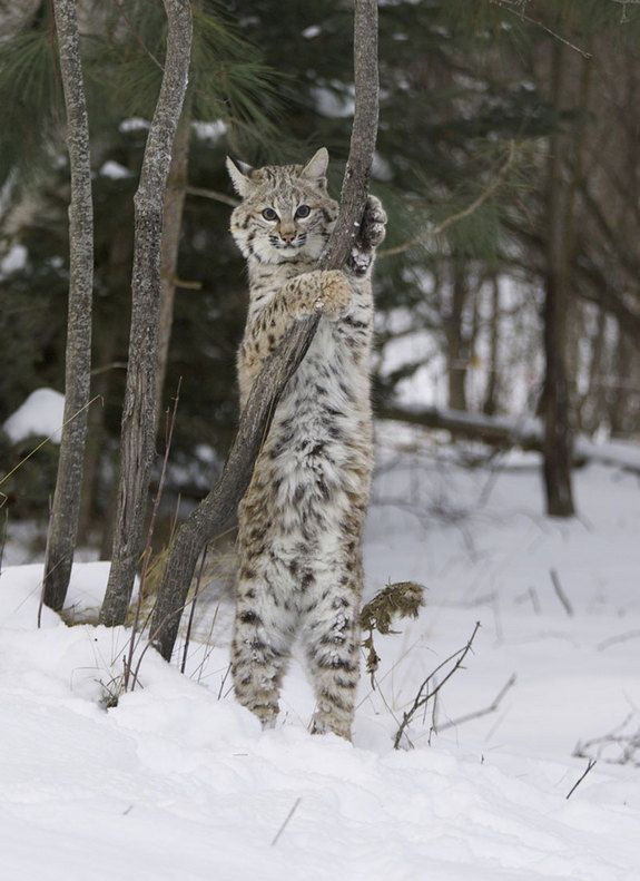 This little patch of spotted Bobcat belly is all that is used in the fur trade and why thousands of these cats are trapped and killed each year