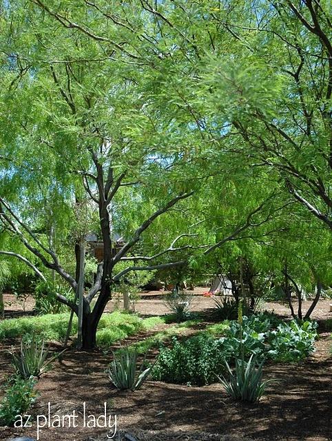 Mesquite (Prosopis species)