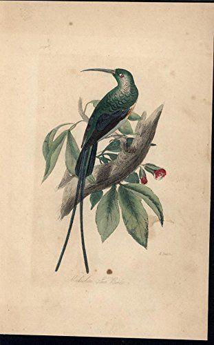 Malachite Sun Bird Vibrant African Animal 1850 antique engraved hand color print null