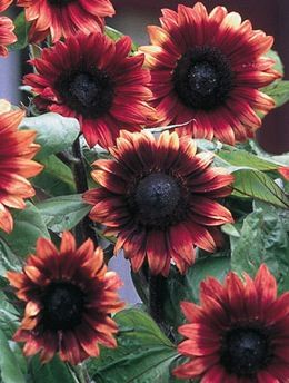 Sunflower, Cherry Rose - Annual Flower Garden Seeds