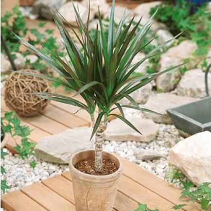 Drachenbaum (Dracaena marginata),1 Pflanze