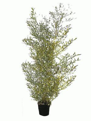 Bamboe planten verhuur http://plantenverhuurvandevelde.be/verhuur/