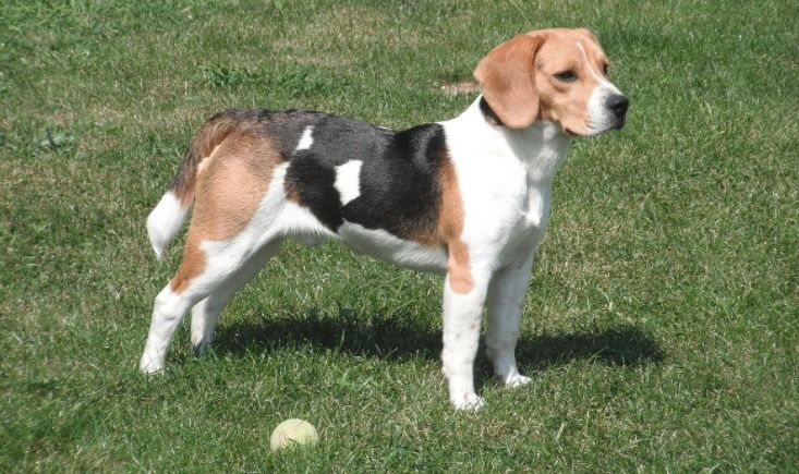 20 Cool Facts You Didn T Know About Beagles Dog Breeds Dogs