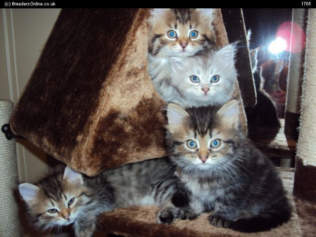 Siberian Cats for Sale | Siberian Kittens For Sale and Cat Breeders