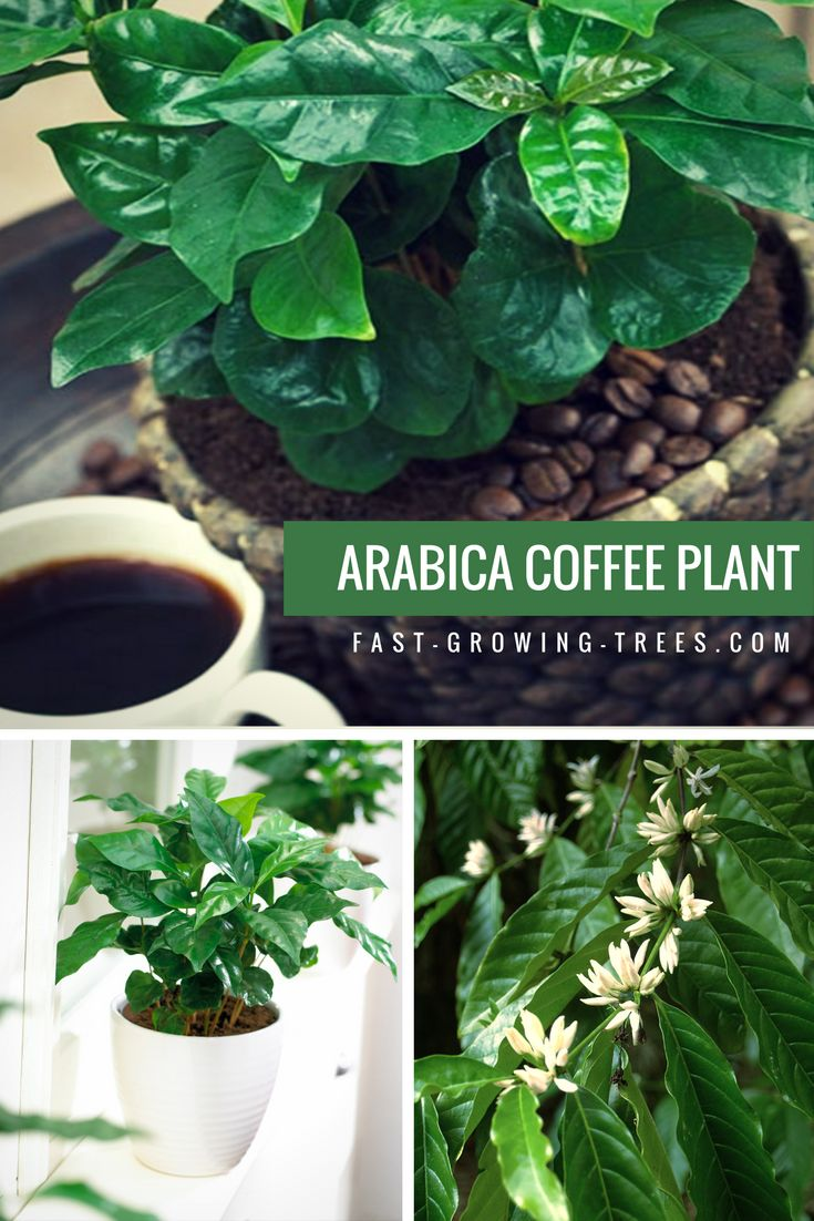 Order now and you will receive well-rooted, mature coffee plants that quickly become established in your home. With proper care, you could start picking beans after the first season.