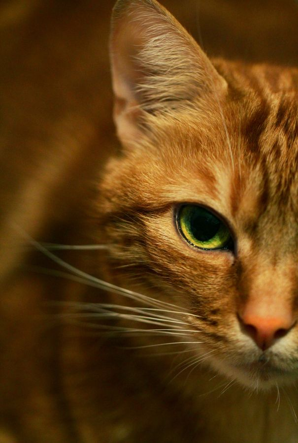 """""""No tame animal has lost less of its native dignity or maintained more of its ancient reserve.  The domestic cat might rebel tomorrow."""" --William Conway"""