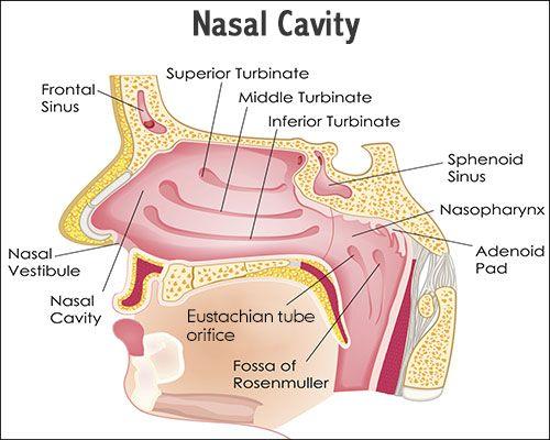 Sinus cavity anatomy