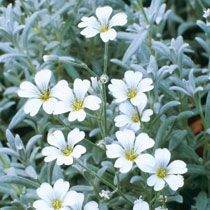 Cerastium tomentosum 'Snow-in-summer' Fast spreading ground cover...