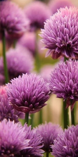 Chive Flowers. Multiple benefits to growing this beauty in your perennial garden. Continuous bloomers they can be cut back again and again. The garden smells awesome when you cut them back and my friends always ask if I'm cooking spaghetti :) I grow them for the flowers but also use the stems (the actual chive) in cooking. They spread easily from seed.
