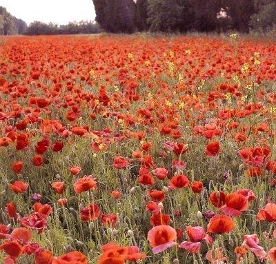 Poppies... my birth flowerWorldly Oth Worldly Nature