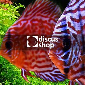 Responsywna strona internetowa wykonana dla sklepu zoologicznego Discus Shop. http://discusshop.pl/ http://perfectpixels.pl/portfolio/discusshop/ #webdesign #stronyinternetowe #perfectpixels