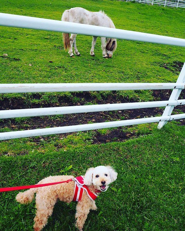 ブーちゃん生まれて初めてお馬ちゃんと対面クンクン匂い嗅いでました笑大きいワンちゃんと思ったかな Boo Encountered Horses For The First Time In Her Life Whats This Huge Dog Lol Anger Dog Tshirt Animals Dogs