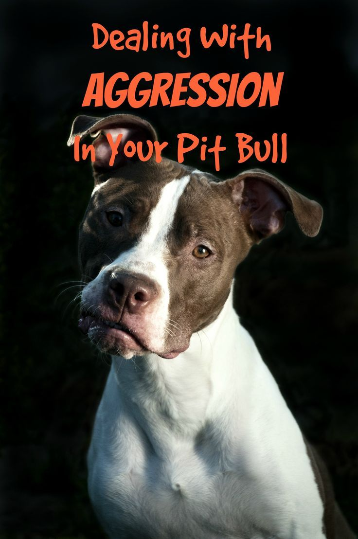 Check out our pitbull puppy training tips for dealing with aggression in your pit pup. Remember, any dog can become aggressive, so these tips work for all!