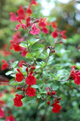 A tough, beautiful, & evergreen salvia that forms a full 3' rounded plant that is almost constantly covered with bright pink tubular flowers spring, summer, & fall (& even through a mild winter).  Drought tolerant once established.  Full sun or light shade.  Moist, well drained soil.  Responds well to pruning.  Hummingbirds!