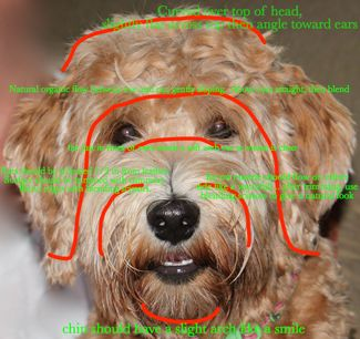 Labradoodle Grooming Face Instructions