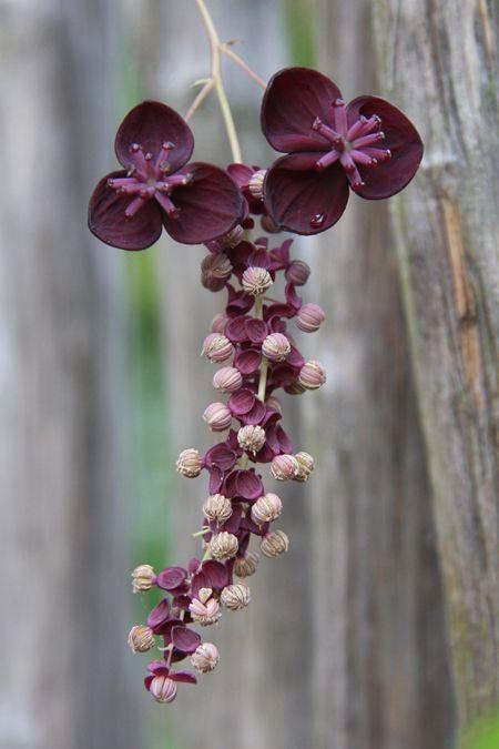 Akebia longeracemosa BSWJ 3606