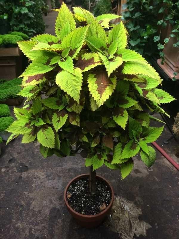 Колеусы, Coleus, Buntnessel, Solenostemon - Мир растений