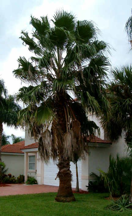 Best 25 Small Palm Trees Ideas On Pinterest  Tropical -5946