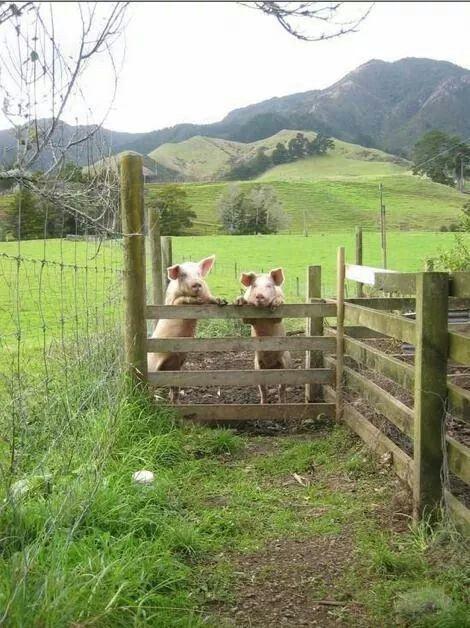 Cute little piggies .. :-)