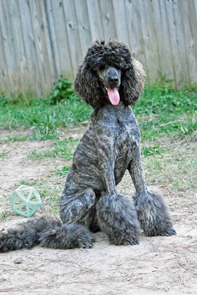 Pin By Laura Duvall On Brindle Poodles Cute Cats And Dogs Cute