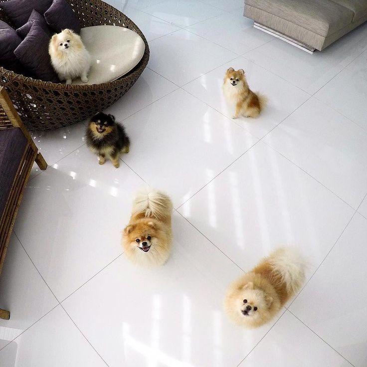 Everything about playfull pomeranian puppy size
