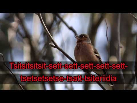 Lintukaraoke: Peippo (video 0:53).