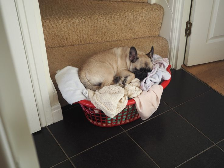 Frenchie in a basket.. totally normal