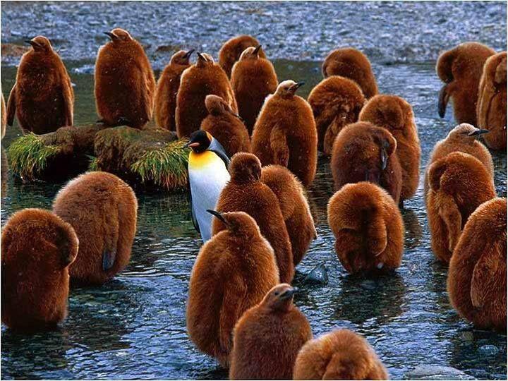 Mladí tučňáci vypadají jako úplně jiný živočišný druh než dospělí...