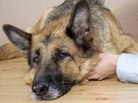 Ratusan Anjing Peliharaan Mati Karena Penyakit Misterius di AS